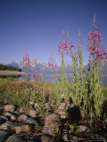 Wild Flowers  Jackson Lake  Grand Teton National Park  Wyoming  USA