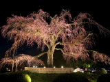 Famous Giant Weeping Cherry Tree in Blossom and Illuminated at Night  Maruyama Park  Kyoto  Honshu
