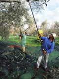 Vibrating Olives from the Trees in the Groves of Marina Colonna  San Martino  Molise  Italy