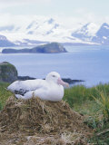 Clsoe-Up of a Wandering Albatross on Nest  Prion Island  South Georgia  Atlantic