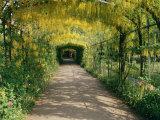 Laburnum Walk in Wilderness Gardens  Hampton Court  Greater London  England  United Kingdom