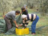 Michele Galantino Gathering Olives for Fine Extra Virgin Oil on His Estate  Puglia  Italy