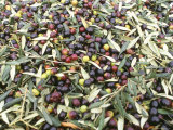 Close-Up of Olives Harvested at Frantoio Galantino  Bisceglie  Puglia  Italy