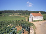 Vineyards on Route Des Grands Crus  Nuits St Georges  Dijon  Burgundy  France
