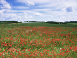 Poppies in the Valley of the Somme Near Mons  Nord-Picardy  France