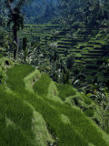 Terraced Rice Fields Near Gagah  Bali  Indonesia  Southeast Asia