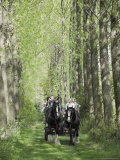 Horse and Carriage Carrying Tourists Down Avenue of Poplar Trees in the Grounds of Umberslade Hall