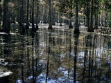 Cypress Swamp  Cypress Gardens  Near Charleston  South Carolina  USA