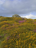 Hay Tor Rocks and Wild Flowers  Dartmoor  Devon  England  United Kingdom