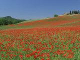 Poppy Field Near Montechiello  Tuscany  Italy
