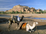 Camels by Riverbank with Kasbah Ait Benhaddou  Unesco World Heritage Site  in Background  Morocco