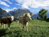 Cows Near Grindelwald  Bernese Oberland  Swiss Alps  Switzerland