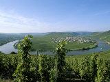 Vineyard Near Trittenheim  Mosel Valley  Rheinland-Pfalz (Rhineland-Palatinate)  Germany