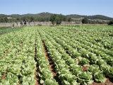 Cabbage Field Near Sant Llorenc  Ibiza  Balearic Islands  Spain