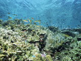 Shallow Top of the Reef is Nursery for Young Fish  Sabah  Malaysia  Southeast Asia