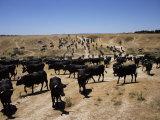 Cattle Transhumance  Spain