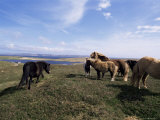 Groups of Shetland Ponies Graze the Moors of Yell  Shetlands  Scotland  United Kingdom