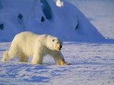 Male Polar Bear(Ursus Maritimus) in Spring  Svalbard/Spitsbergen  Arctic