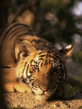 Indo Chinese Tiger Cub  Panthera Tigris Corbetti  Tiger Sanctuary for Confiscated Animals  Thailand