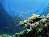 Sunlit Reef Top with Hard Corals and Anthias  Red Sea  Egypt  North Africa  Africa