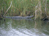 Alligator at Anhinga Trail  Everglades  Florida  USA