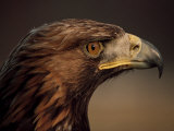 Golden Eagle  Highland Region  Scotland  United Kingdom