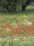 Field of Wild Flowers with Poppies  Lesbos  Greece