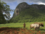 Peasant Farmer Ploughing Field with His Two Oxen  Vinales  Pinar Del Rio Province  Cuba