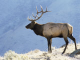 Elk  Yellowstone National Park  Wyoming  USA