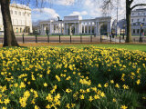 Daffodils in Hyde Park Near Hyde Park Corner  London  England  United Kingdom