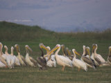 Group of Pelicans Resting on the Ground at Dusk  Galilee Panhandle  Middle East