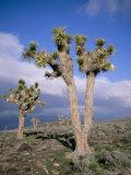 Joshua Trees Near Death Valley  Joshua Tree National Park  California  USA