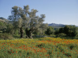 Spring Flowers and Olive Trees on Lower Troodos Slopes Near Arsos  Cyprus