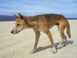 Wild Dingo on Beach  Australia