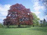 Copper Beech Tree  Croft Castle  Herefordshire  England  United Kingdom