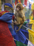 Young Monkey Sitting on Prayer Flags Tied on a Pole  Darjeeling  India