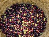 Olive Harvest  Meknes Region  Morocco  North Africa  Africa
