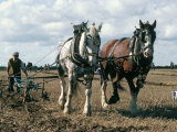 Ploughing with Shire Horses  Derbyshire  England  United Kingdom