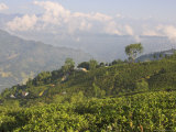 Singtom Tea Garden  Snowy and Cloudy Kandchengzonga Peak in Background  Darjeeling  Himalayas