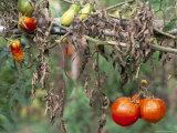 Tomatoes  Tuscany  Italy