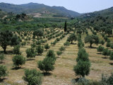 Olive Trees  Near Spili  Island of Crete  Greece  Mediterranean