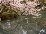 Cherry Blossom  Kenrokuen Garden  Kanazawa City  Ishigawa Prefecture  Honshu Island  Japan