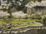 Spring Cherry Blossoms Near River with Stepping Stones  Kagoshima Prefecture  Kyushu  Japan