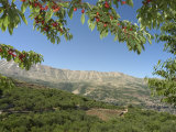 Cherry Tree  Bcharre  Qadisha Valley  Unesco World Heritage Site  North Lebanon  Middle East