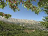 Cherry Tree  Bcharre  Qadisha Valley  Unesco World Heritage Site  North Lebanon  Middle East