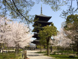 Toji Pagoda  Unesco World Heritage Site  Spring Cherry Blossom  Kyoto City  Honshu Island  Japan