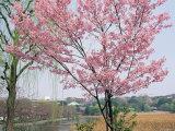 Spring Blossom and Lake at Ueno-Koen Park  Ueno  Tokyo  Japan