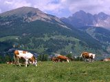 Cows Grazing at Monte Pana and Leodle Geisler Odles Range in Background  Dolomites  Italy