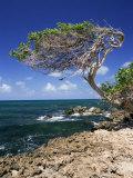 Divi Divi Tree  Cudarebe Point  Aruba  West Indies  Dutch Caribbean  Central America
