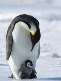 Emperor Penguin (Aptenodytes Forsteri) and Chick  Snow Hill Island  Weddell Sea  Antarctica